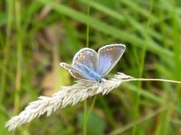 Common Blue Butterfly: Click to enlarge
