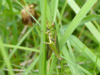 Common Green Grasshopper: Click to enlarge