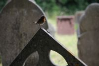 Robin keeps guard of the cemetery: Click to enlarge