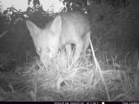 Fox caught on a trail camera: Click to enlarge